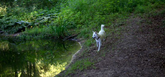 Unsere Jindo Dogs